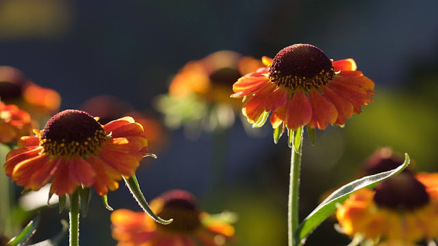 IPhone and Helenium table flowers wallpaper