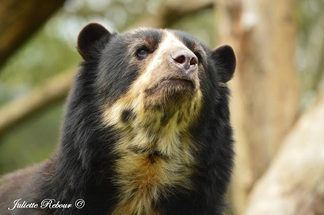 Bioparc Doué-la-Fontaine, ours à lunettes