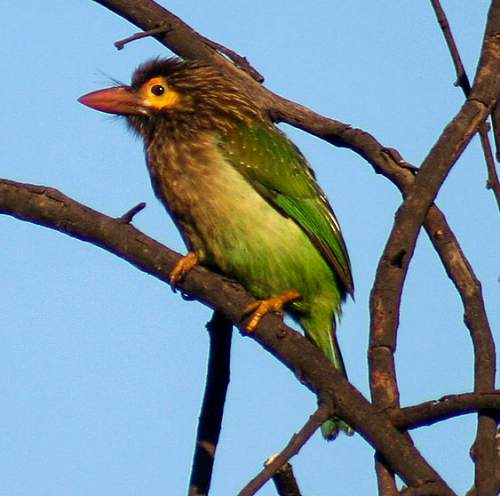 Indian birds - Image of Brown-headed barbet - Psilopogon zeylanicus
