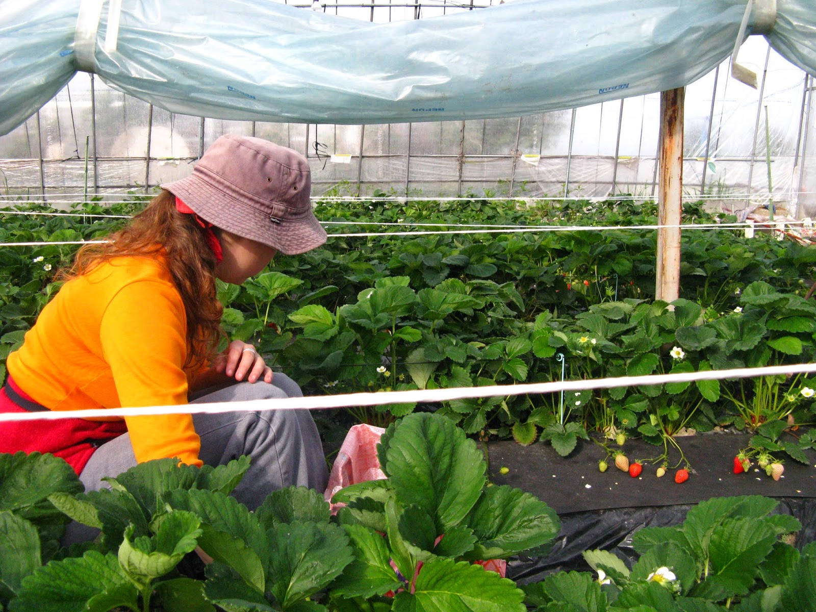 WWOOF Japan strawberry weeding