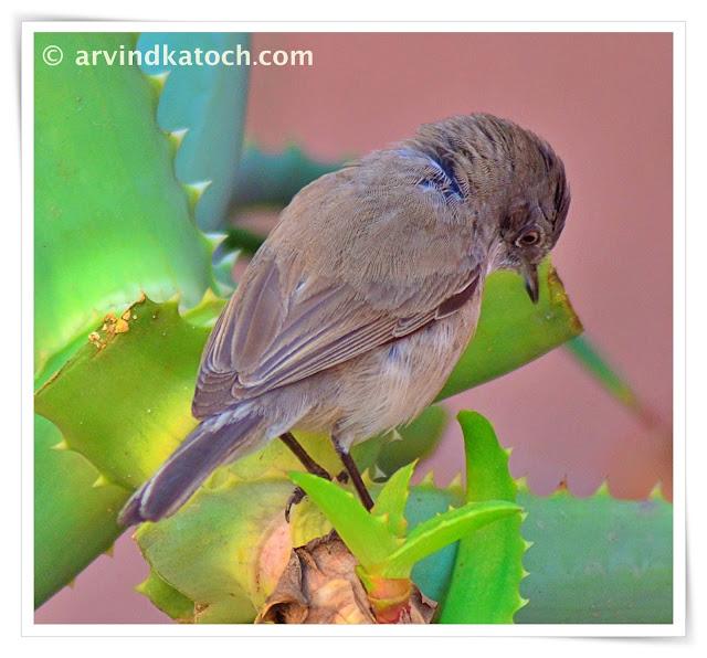 Lesser Whitethroat warbler, warbler,