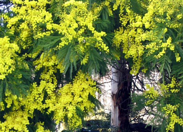 Romantic flowers acacia flower - Trees that bloom yellow flowers ...