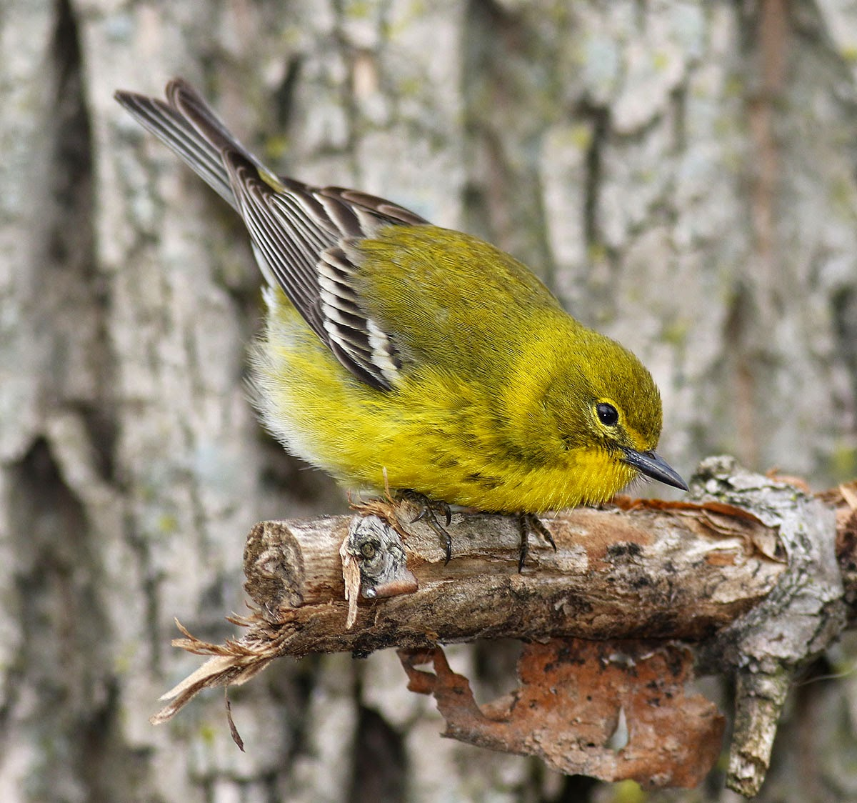 Brooklyn Bird Club Field Trip Reports Fwd Thursday Bbc
