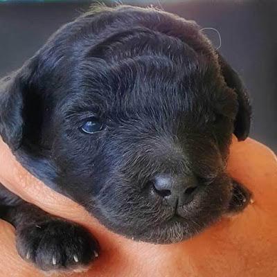 pup's eyewill be grayish-blue