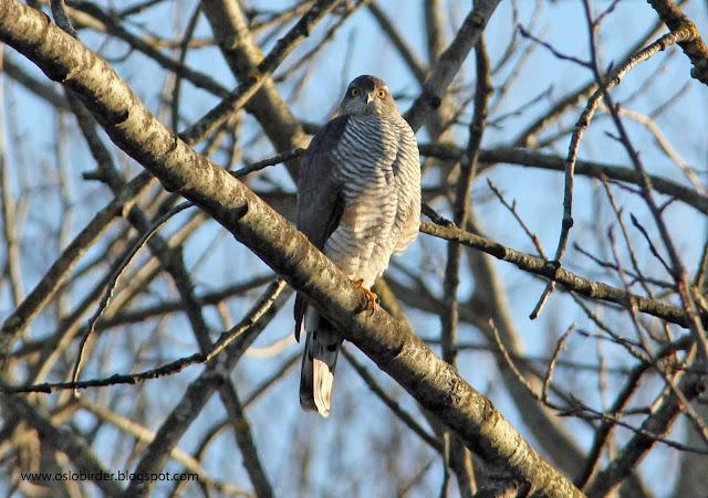 sparrowhawk%2BIMG 5942%2Bcopy