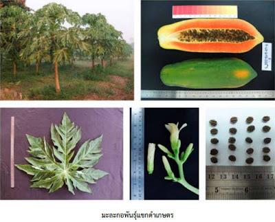 ขายต้นมะละกอ แขกดำเกษตร (เสียบยอด)