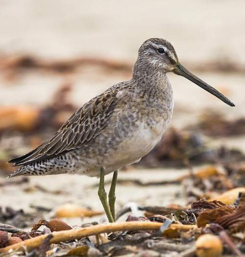 Indian birds - Picture of Long-billed dowitcher - Limnodromus scolopaceus
