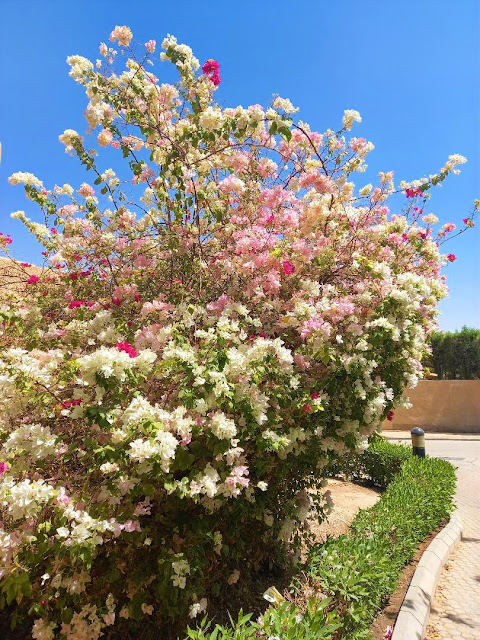 Bouganvillea plant and blue sky on a western compound in Riyadh
