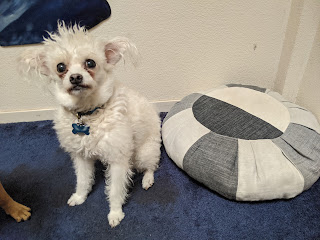Small white dog next to gray and off-white cushion
