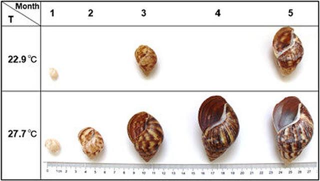Land snail shells help to reconstruct quantitative temperature