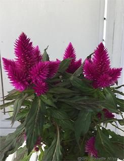 Flotte lilla blomster til verandabordet!