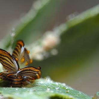 Famous tiger butterfly in Romblon<br>朗布隆特產必拍虎紋美葉
