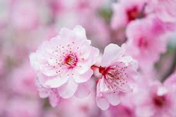 紫微斗數看桃花:命帶桃花是好是壞?