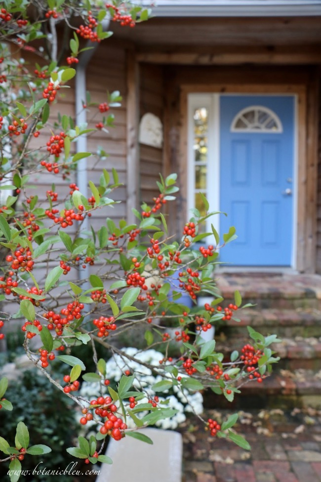 Fall Front Entry Garden With White Chrysanthemums, Red Holly Berries, and Blue Front Door