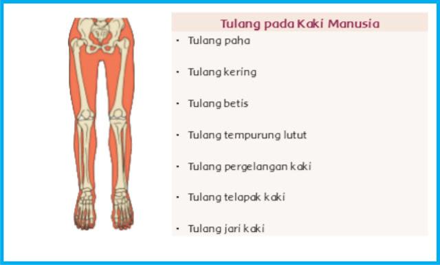 bagian fungsi tulang kaki pada manusia