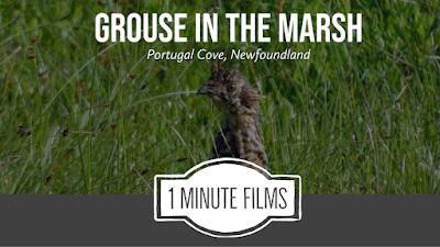 Grouse In Marsh Nature Film