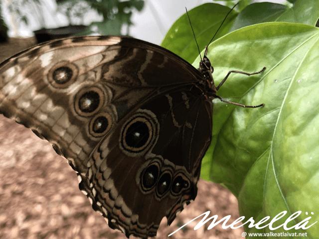 Jurmala perhoset