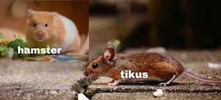 perbedaan hamster dengan tikus