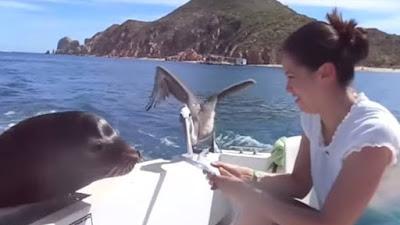 Adegan Memberi Makan Anjing Laut Saat Speed Boat Sedang Melaju Kencang