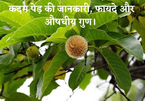 कदम पेड़ की जानकारी, फायदे और औषधीय गुण।