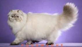 Perbedaan Antara Kucing Anggora Dengan Kucing Persia