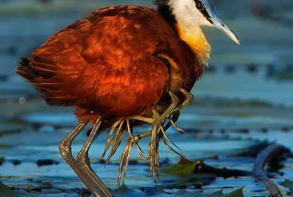 Burung Ini Kakinya Delapan