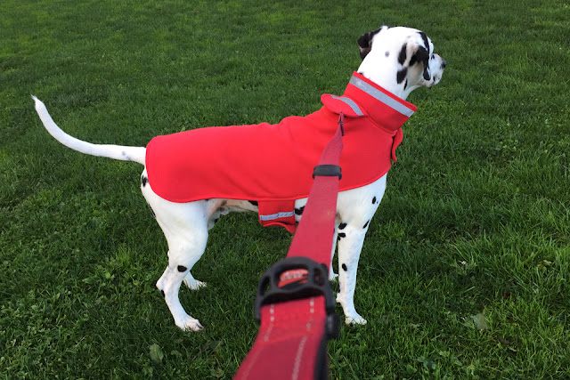 Dalmatian dog wearing a red fleece coat with high visibility trim