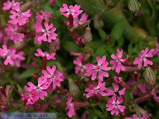 Silène pendant - Silène à fleurs penchées - Silene pendula