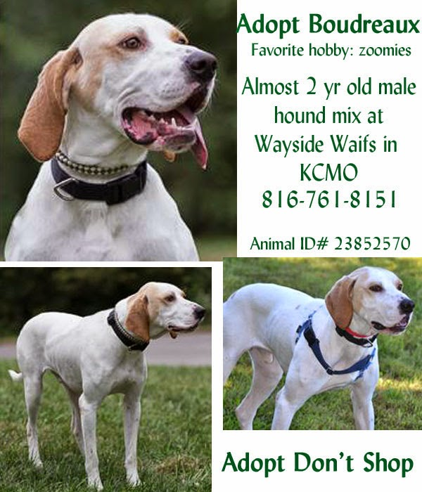 Talking Dogs at For Love of a Dog: Adopt Boudreaux a Hound