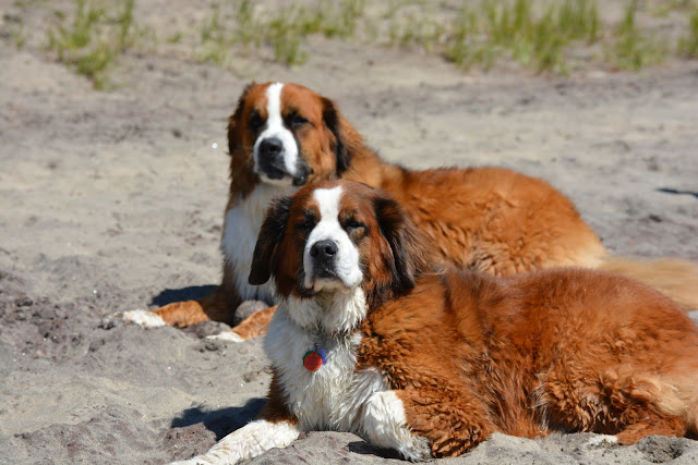 Saint Bernese dog Paws For Reaction Cottage life