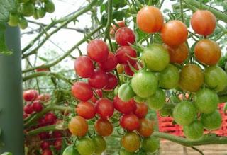 Cara menanam tomat hidroponik