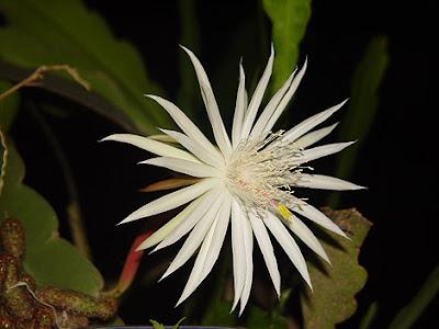 Hoa quỳnh 16