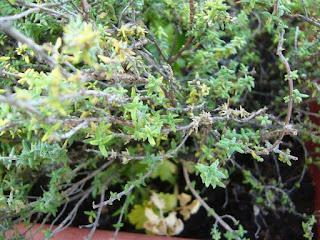 cultivo de planta aromática tomillo en maceta