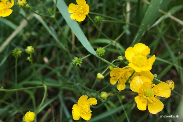 Keltainen niittykukka, leinikki