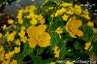 Złotlin japoński- Kerria japonica