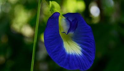khasiat bunga telang untuk mata belekan pada bayi baru lahir