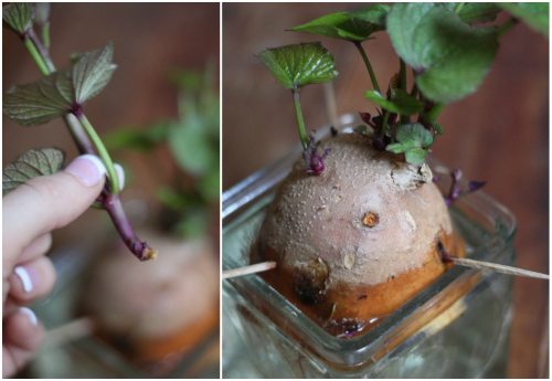 How To Plant Sweet Potatoes Indoors 17 Apart