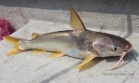 Lowly Catfish