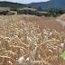 H Mondelēz International επεκτείνει το Πρόγραμμα Βιώσιμης Παραγωγής Σίτου