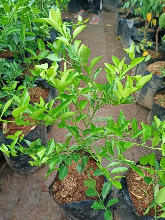 BIBIT tanaman pohon buah JERUK NIPIS limo limau keep nagami songkit sonkit purut santang madu Sumatra Barat
