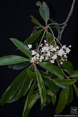 Laurel amarillo (Nectandra lanceolata)