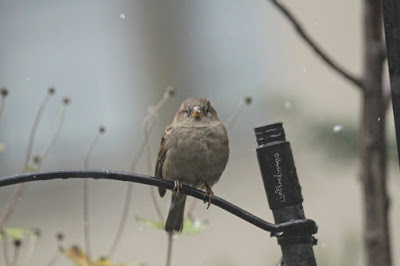 "This photo features a young female house sparrow perched on a bracket that supports a feeder in my garden. Wet snow is falling lightly.  A web-page (@ https://www.thespruce.com/house-sparrow-387273) )for this bird type describes this bird type by saying, ""Male and female house sparrows look distinctly different. Males have a black chin and bib, white cheeks, and a rust-colored cap and nape of neck. The black on the chin and breast can vary widely, with older, more dominant males showing more extensive black. The underparts are pale grayish, and the back and wings show brown and black streaking. The rump is gray. Males also have a single white wing bar. Females are plainer, with a broad buff eyebrow and brown and buff streaks on the wings and back. On both genders, the legs and feet are pale and the eyes are dark. Overall, both males and females have a stocky appearance. Juveniles resemble adult females but with less distinctive markings and a less defined eyebrow.""  House sparrows are featured in my book series, ""Words In Our Beak."" Info re my books is in another post on my blog @  https://www.thelastleafgardener.com/2018/10/one-sheet-book-series-info.html"