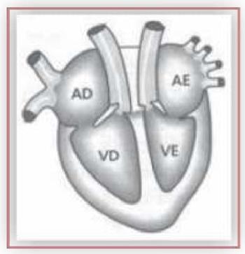 (Albert Einstein 2017) O esquema abaixo representa, de forma simplificada, o coração humano