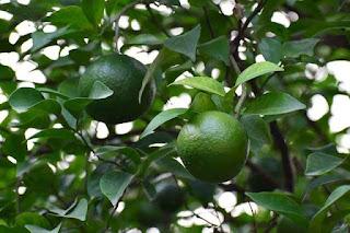 orange malta fruit crop Guidelines for Ambia bahar 6