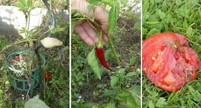 Collage Inka-Gurke, Chili, Tomate