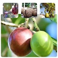 buah bintaro