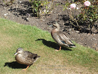 Several mallards were resting among the rose bushes, not seeming to be bothered by the thorns. Wellington Botanic Garden, North Island, New Zealand.