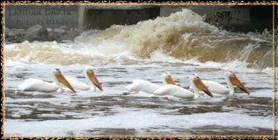Five pelicans swim towards the weir under the Albert Street Bridge, Regina, SK