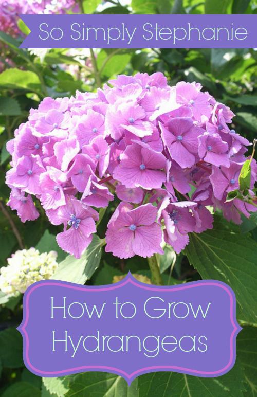 Simply Stephanie - tips for growing hydrangeas