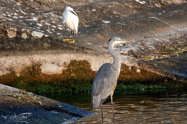 Grey heron little egret